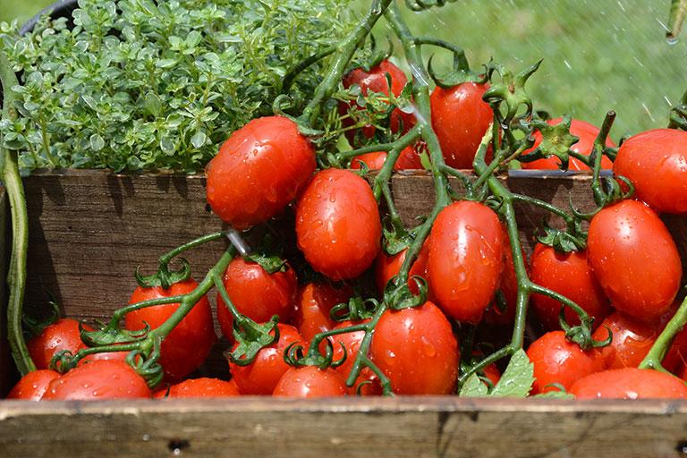 Millennial Tomato Letca bio organic