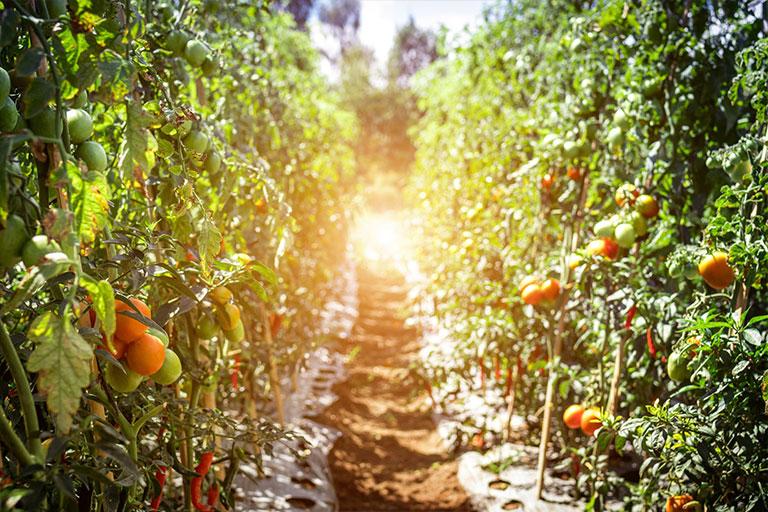 produse sera protejata rosii bio pe vrej in soare